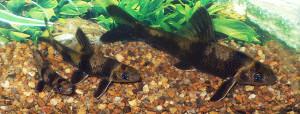 Sarcoheilichthys sinensis 1