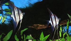 Pterophyllum altum (2)