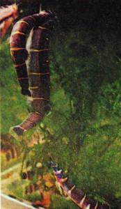 Pangio myersi 1973