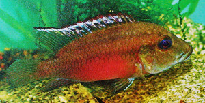 Chromidotilapia kingsleyae re ed