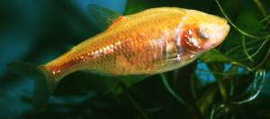 Astyanax mexicanus ed