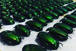 Green beetles 2018 ed