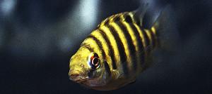 Oreochromis mariae ed