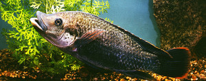 Oreochromis mossambicus ed