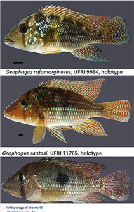 Geopagus spp.new 2018