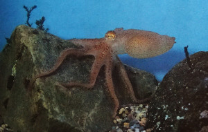 Octopus Far East ed