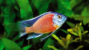 37 Placidochromis borley cadango red ed