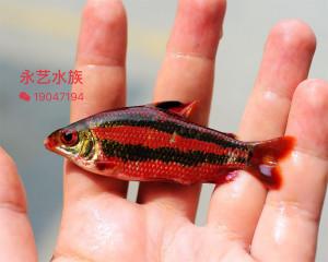 Distichodus sp. black-red 2018