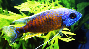 Malawi cichlids blues web 2 2018