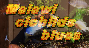 Malawi cichlids blues web 2018