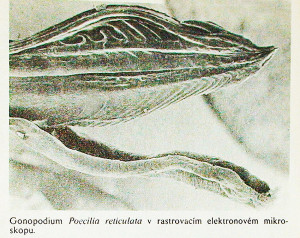 Gonopodium 5