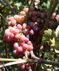 grapes sept 2018