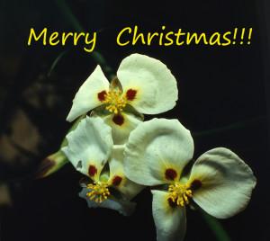 Christmas 2018 sagittaria