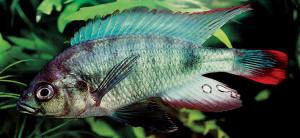 Neochromis nigricans mirr