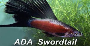 Swordtail ADA 2015