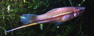 Xiphophorus helleri natural