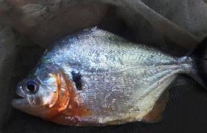Amazonas Mario piranha 2019