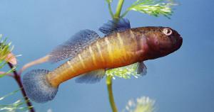 Hypseleotris swinchonis