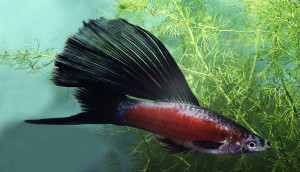 swordtail ADA ed