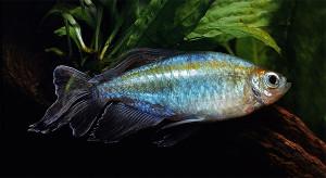 Afr. Aquarium Blues 1