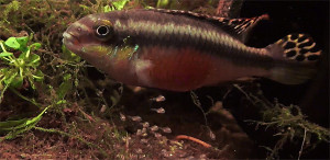 Pelbicachromis pulcher - male with young