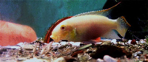 Pelvicachromis pulcher albino male and young re