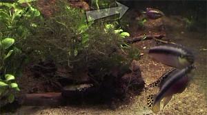 Pelvicachromis pulcher maes 2019 3