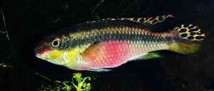 Pelvicachromis pulcher male re 1