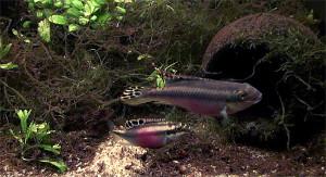 Pelvicachromis pulcher pair 2019 10