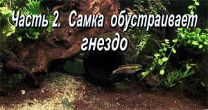 Pelvicachromis pulcher pair 2019 11