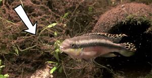 Pelvicachromis pulcher pair 2019 12