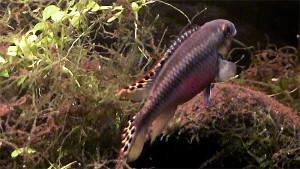 Pelvicachromis pulcher pair 2019 14