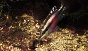 Pelvicachromis pulcher pair 2019 15