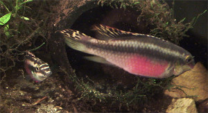 Pelvicachromis pulcher pair 2019 17