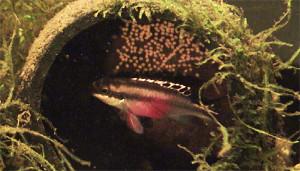 Pelvicachromis pulcher pair 2019 20