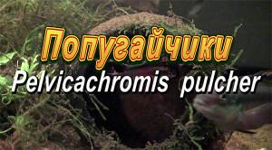 Pelvicachromis pulcher pair 2019 21