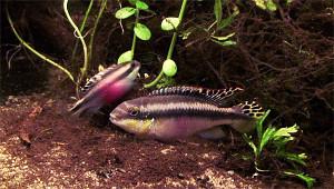 Pelvicachromis pulcher pair 2019 7
