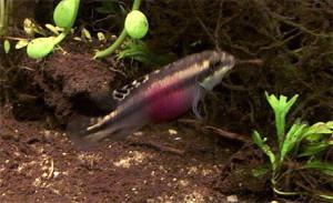 Pelvicachromis pulcher pair 2019 8