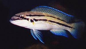 Chalinochromis sp bifrenatus 2019