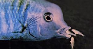 Cyrtocara moorii 1983 - 2019 fry