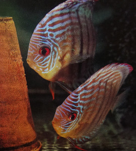 Discua spawning 1978-2019
