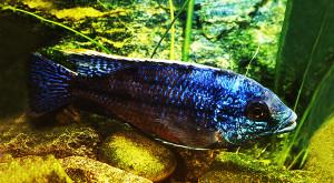 Haplochromis boadzulu 1989-2019