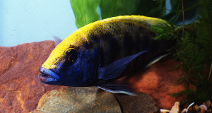 Nimbochromis venustus 1989-2019