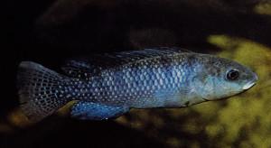 Oreochromis alcalicum grahami 2019