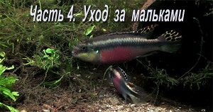Pelvicachromis pulcher maes 2019 31