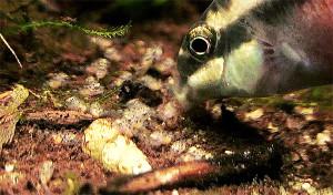 Pelvicachromis pulcher maes 2019 33