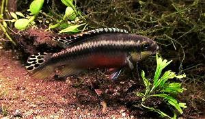 Pelvicachromis pulcher maes 2019 34 ed
