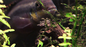 Pelvicachromis pulcher pair 2019 27