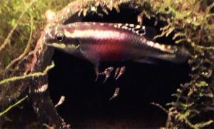Pelvicachromis pulcher pair 2019 28