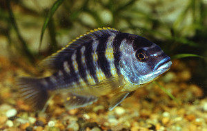 Pseudotropheus livingstoni 1989-2019